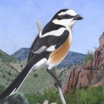 Masked-Shrike, Nik Borrow